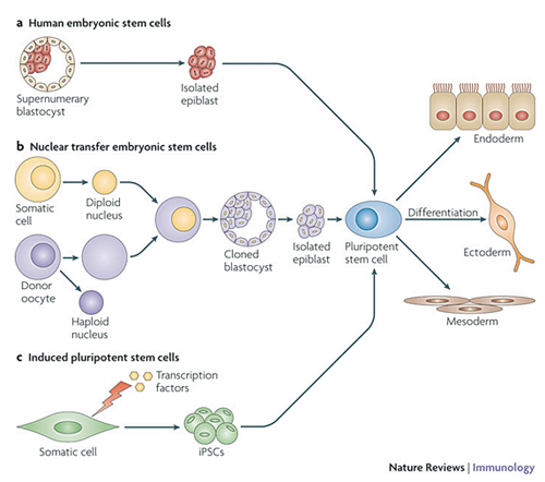 an overview of neurofibromatoses and the development of neural cell tissues Mutation in nf-1 ie, neurofibromin gene leads to neurofibromatosis-1[3] this gene is located at chromosome 17q112[3] this neurofibromin gene affects primarily the development and growth of neural cell tissues and the regulation of melanogenesis nf-1 is thus characterized by multiple.